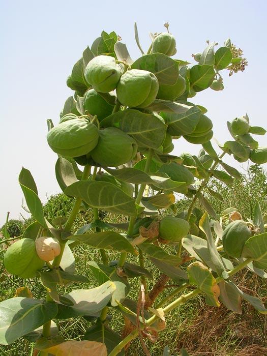 Plantes m dicinales du s n gal au s n gal le c ur du s n gal for Les plus belles plantes artificielles