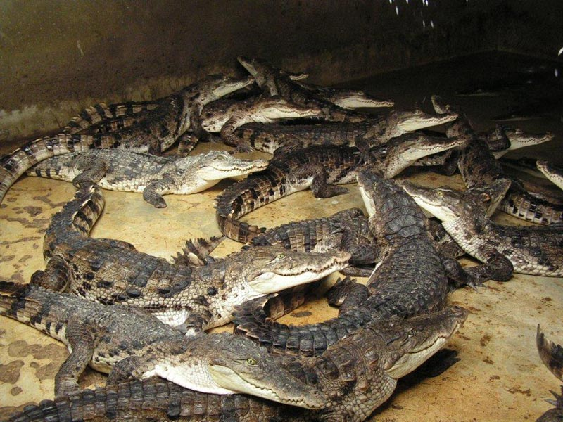 ferme crocodile djibelor