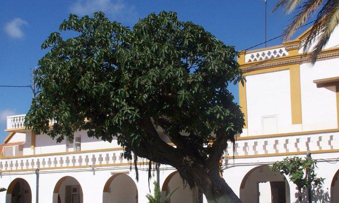 Ficus platyphylla - Pied dans le jardin de l'hôpital principal de Dakar